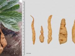 地黄新品种选育研究取得重要进展