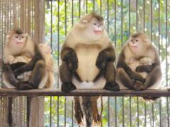 """疫苗研发大战中""""一猴难求"""" 该提升实验动物学科地位了"""